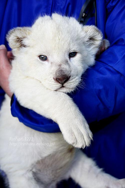 2018.1.7 東北サファリパーク☆ホワイトライオンのひふみたん<その3>【White lion baby】_f0250322_21544699.jpg
