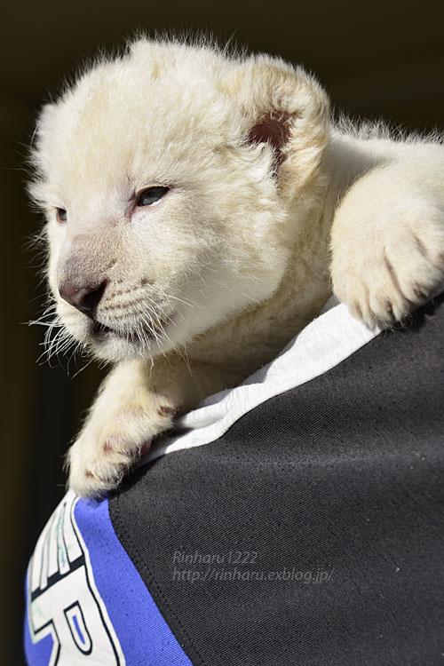 2018.1.7 東北サファリパーク☆ホワイトライオンのひふみたん<その3>【White lion baby】_f0250322_21545855.jpg