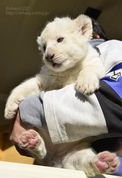 2018.1.7 東北サファリパーク☆ホワイトライオンのひふみたん<その3>【White lion baby】_f0250322_21553827.jpg