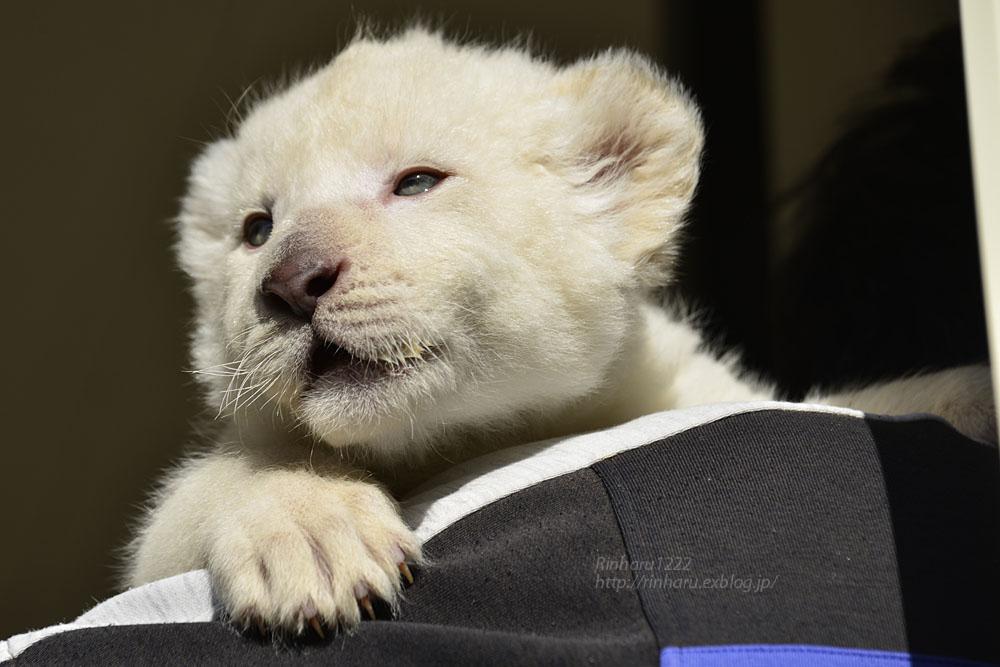 2018.1.7 東北サファリパーク☆ホワイトライオンのひふみたん<その3>【White lion baby】_f0250322_2155468.jpg