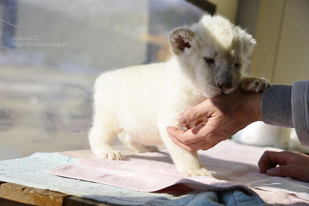 2018.1.7 東北サファリパーク☆ホワイトライオンのひふみたん<その3>【White lion baby】_f0250322_21554990.jpg