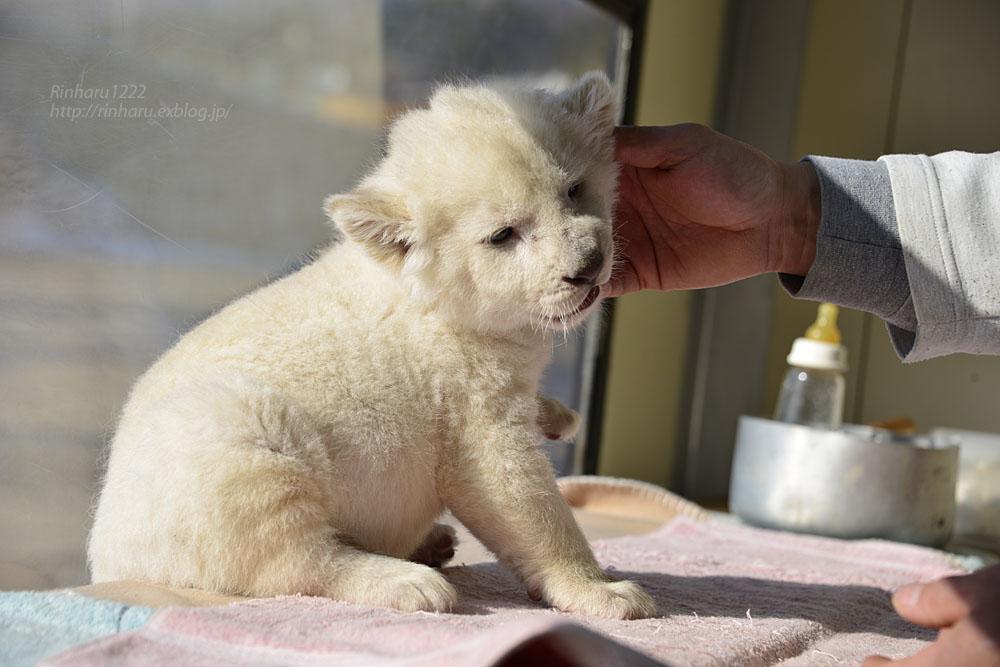 2018.1.7 東北サファリパーク☆ホワイトライオンのひふみたん<その3>【White lion baby】_f0250322_21555449.jpg