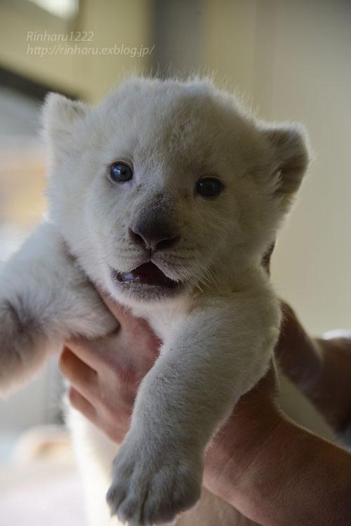 2018.1.7 東北サファリパーク☆ホワイトライオンのひふみたん<その3>【White lion baby】_f0250322_21561366.jpg