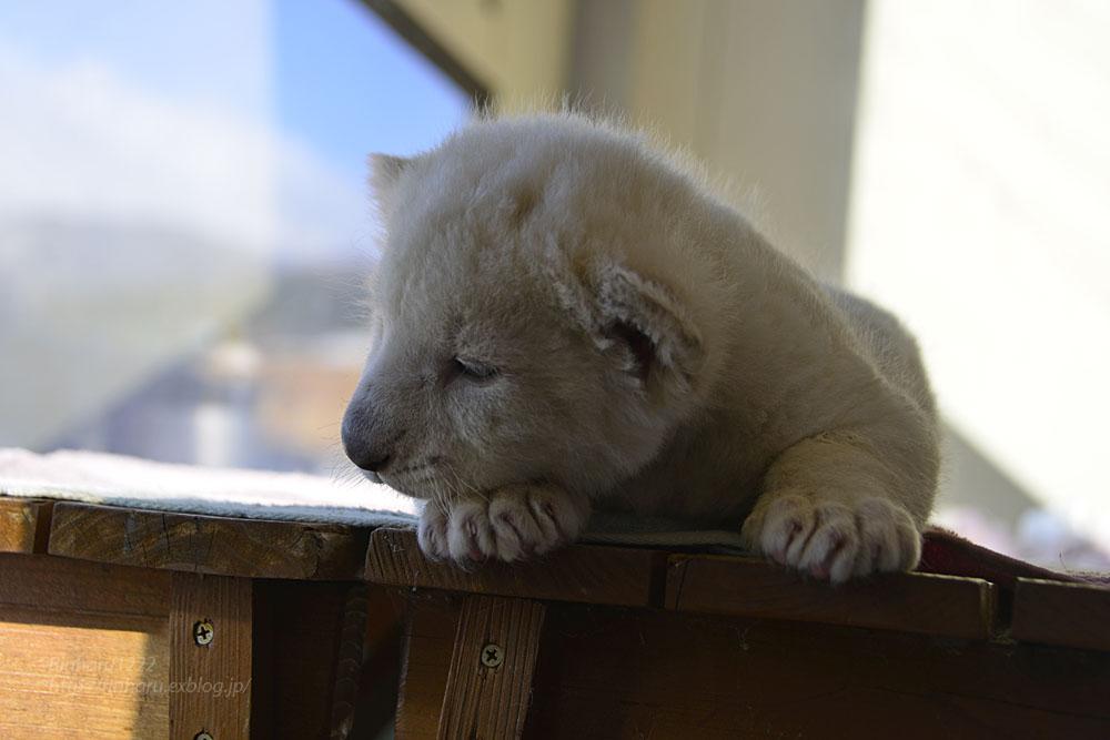 2018.1.7 東北サファリパーク☆ホワイトライオンのひふみたん<その3>【White lion baby】_f0250322_2156483.jpg