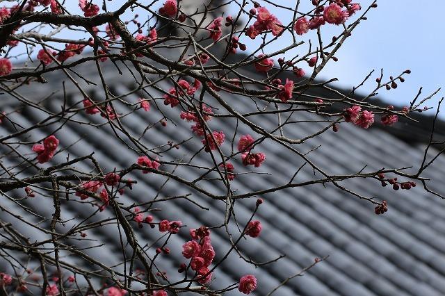 長楽寺の紅,白、黄梅、花盛り (その2)(撮影:1月25日)_e0321325_14024843.jpg