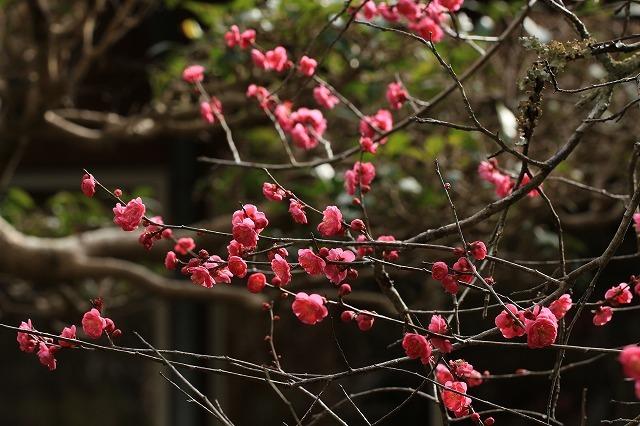 長楽寺の紅,白、黄梅、花盛り (その2)(撮影:1月25日)_e0321325_14065685.jpg