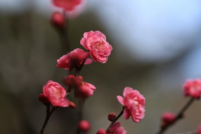 長楽寺の紅,白、黄梅、花盛り (その2)(撮影:1月25日)_e0321325_14071144.jpg