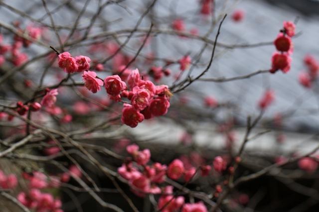 長楽寺の紅,白、黄梅、花盛り (その2)(撮影:1月25日)_e0321325_14072437.jpg
