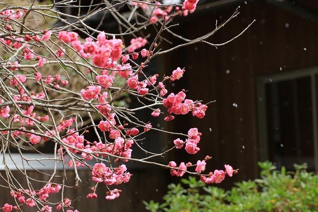 長楽寺の紅,白、黄梅、花盛り (その2)(撮影:1月25日)_e0321325_14080677.jpg