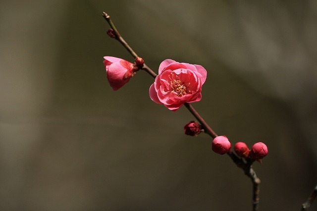 長楽寺の紅,白、黄梅、花盛り (その2)(撮影:1月25日)_e0321325_14085445.jpg