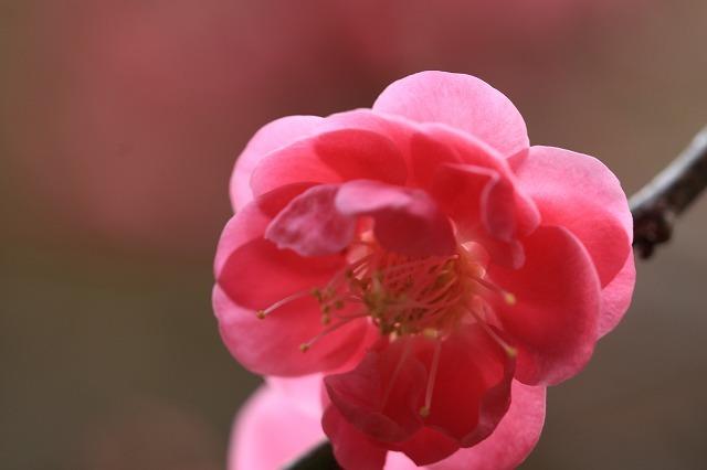 長楽寺の紅,白、黄梅、花盛り (その2)(撮影:1月25日)_e0321325_14091063.jpg