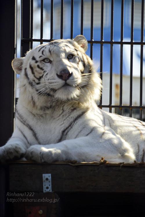 2018.1.6 宇都宮動物園☆ホワイトタイガーのアース王子<前編>【White tiger】_f0250322_15362270.jpg