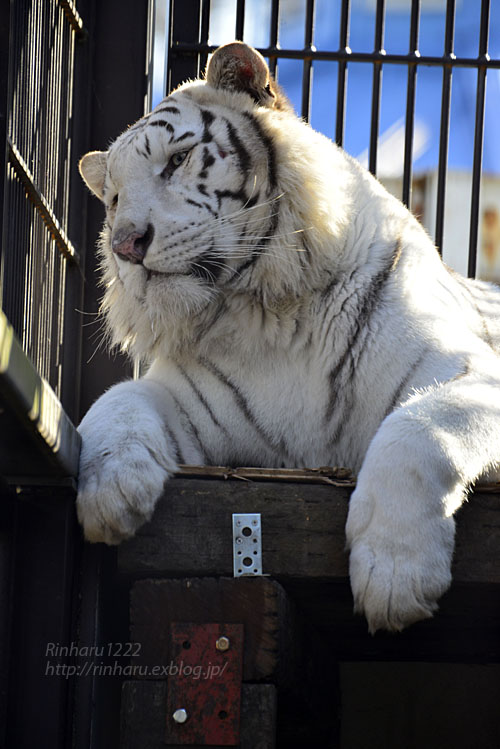 2018.1.6 宇都宮動物園☆ホワイトタイガーのアース王子<前編>【White tiger】_f0250322_15363932.jpg