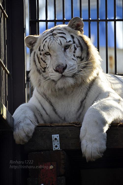 2018.1.6 宇都宮動物園☆ホワイトタイガーのアース王子<前編>【White tiger】_f0250322_15364428.jpg
