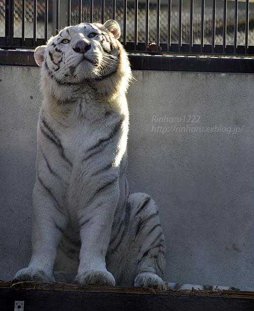 2018.1.6 宇都宮動物園☆ホワイトタイガーのアース王子<前編>【White tiger】_f0250322_15365421.jpg
