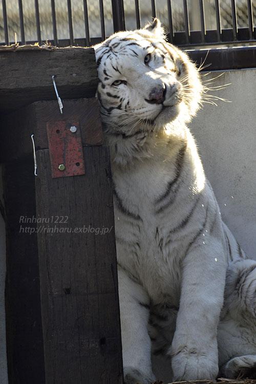 2018.1.6 宇都宮動物園☆ホワイトタイガーのアース王子<前編>【White tiger】_f0250322_15371874.jpg
