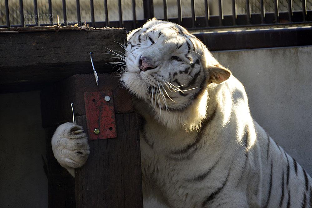 2018.1.6 宇都宮動物園☆ホワイトタイガーのアース王子<前編>【White tiger】_f0250322_1537228.jpg
