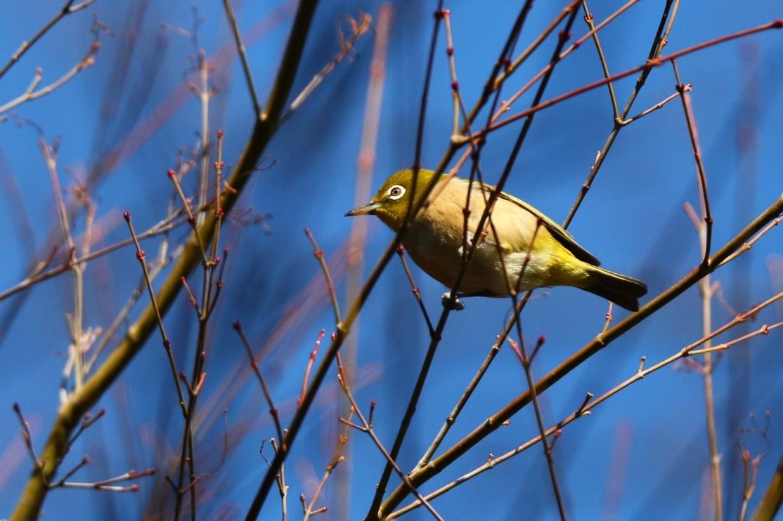 熊野神社の野鳥_e0291438_17521724.jpg
