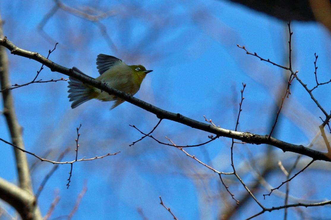 熊野神社の野鳥_e0291438_17523712.jpg