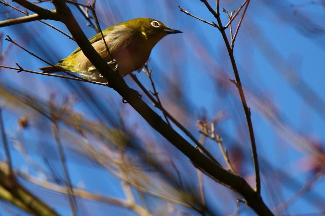 熊野神社の野鳥_e0291438_17525668.jpg