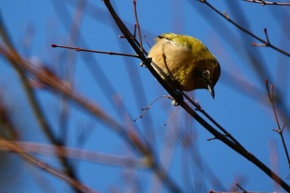 熊野神社の野鳥_e0291438_17531905.jpg