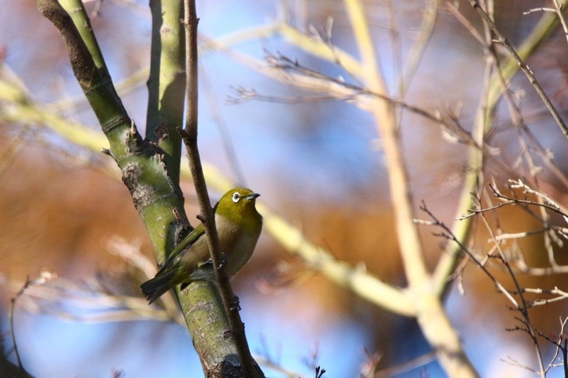 熊野神社の野鳥_e0291438_17533767.jpg