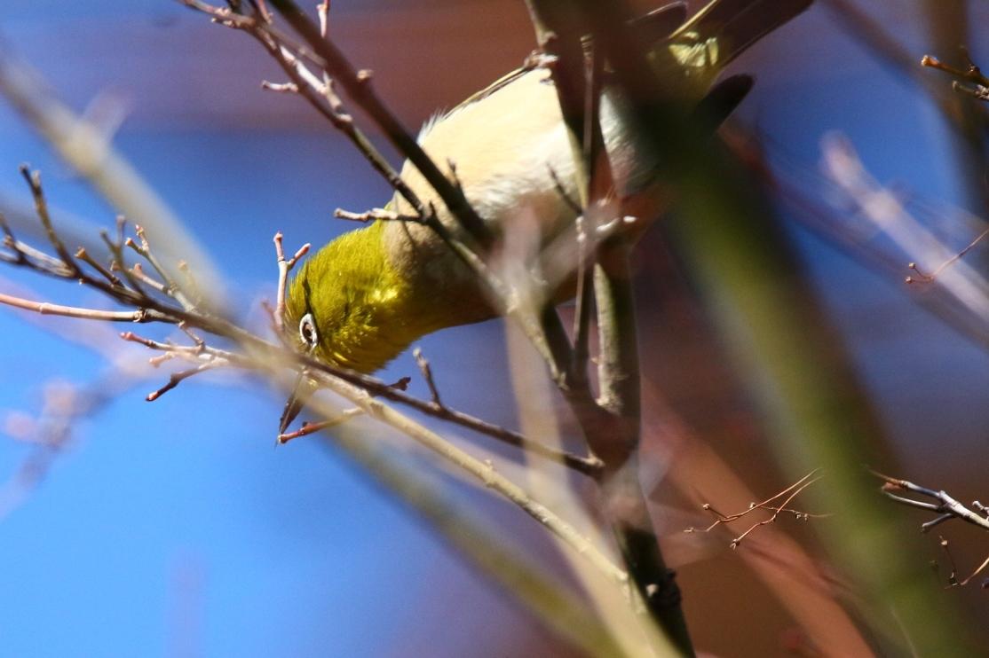 熊野神社の野鳥_e0291438_17535533.jpg
