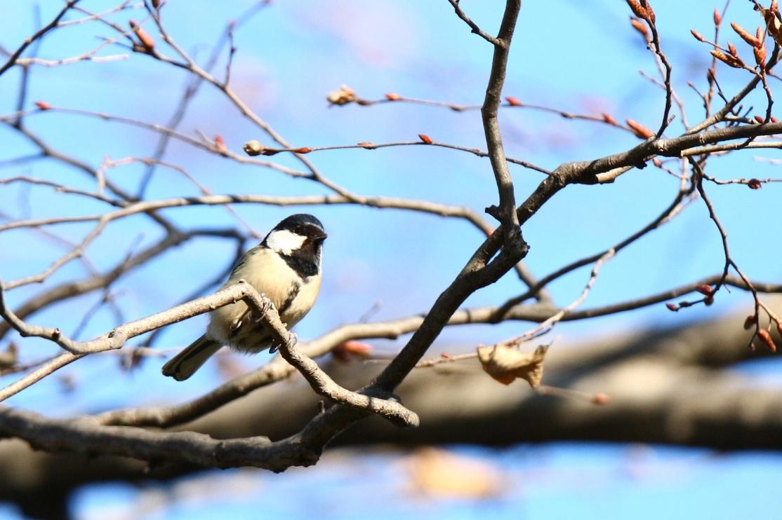 熊野神社の野鳥_e0291438_17541510.jpg