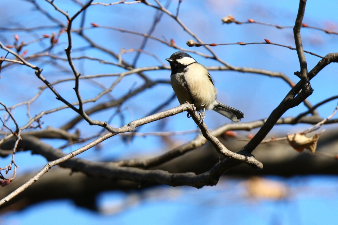 熊野神社の野鳥_e0291438_17544826.jpg