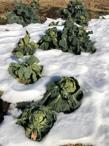 今朝は中村さん福田さんが畑に 厳寒なのに完全防備で・・・ありがとうございます_c0222448_12432200.jpg