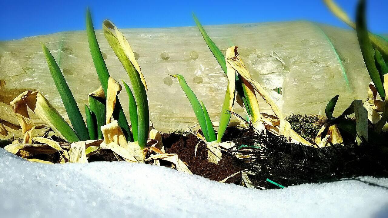 今朝は中村さん福田さんが畑に 厳寒なのに完全防備で・・・ありがとうございます_c0222448_12445534.jpg