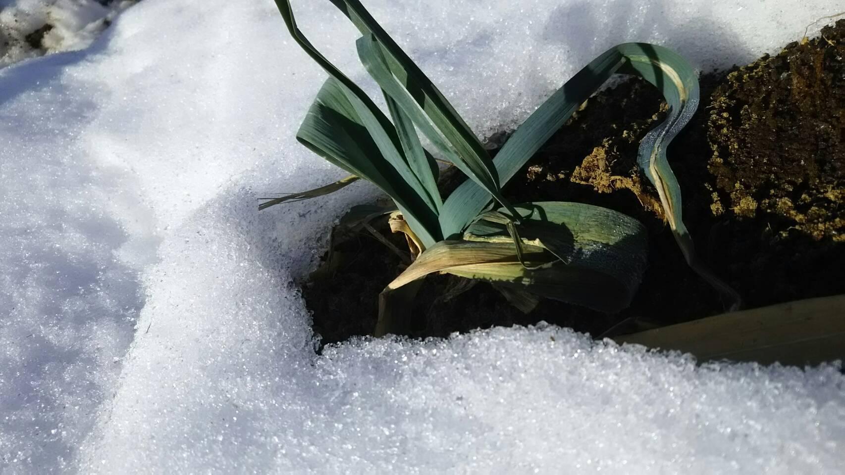 今朝は中村さん福田さんが畑に 厳寒なのに完全防備で・・・ありがとうございます_c0222448_12453086.jpg
