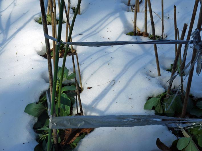 大雪と今季最強の寒波襲来でサトイモが心配だ1・24_c0014967_09021097.jpg