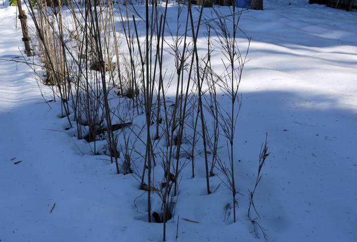 大雪と今季最強の寒波襲来でサトイモが心配だ1・24_c0014967_09032274.jpg
