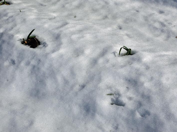 大雪と今季最強の寒波襲来でサトイモが心配だ1・24_c0014967_09035132.jpg