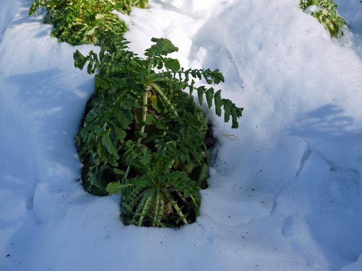 大雪と今季最強の寒波襲来でサトイモが心配だ1・24_c0014967_09051514.jpg