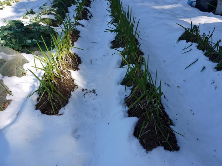 大雪と今季最強の寒波襲来でサトイモが心配だ1・24_c0014967_09055776.jpg