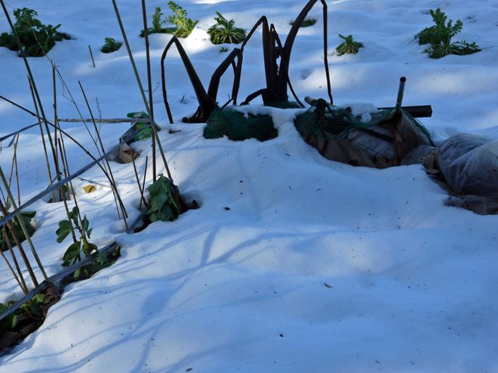 大雪と今季最強の寒波襲来でサトイモが心配だ1・24_c0014967_8572615.jpg