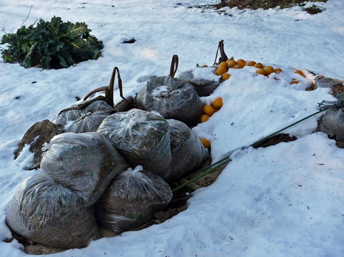 大雪と今季最強の寒波襲来でサトイモが心配だ1・24_c0014967_8575731.jpg