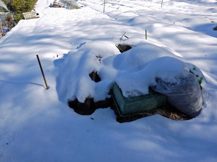 大雪と今季最強の寒波襲来でサトイモが心配だ1・24_c0014967_857685.jpg