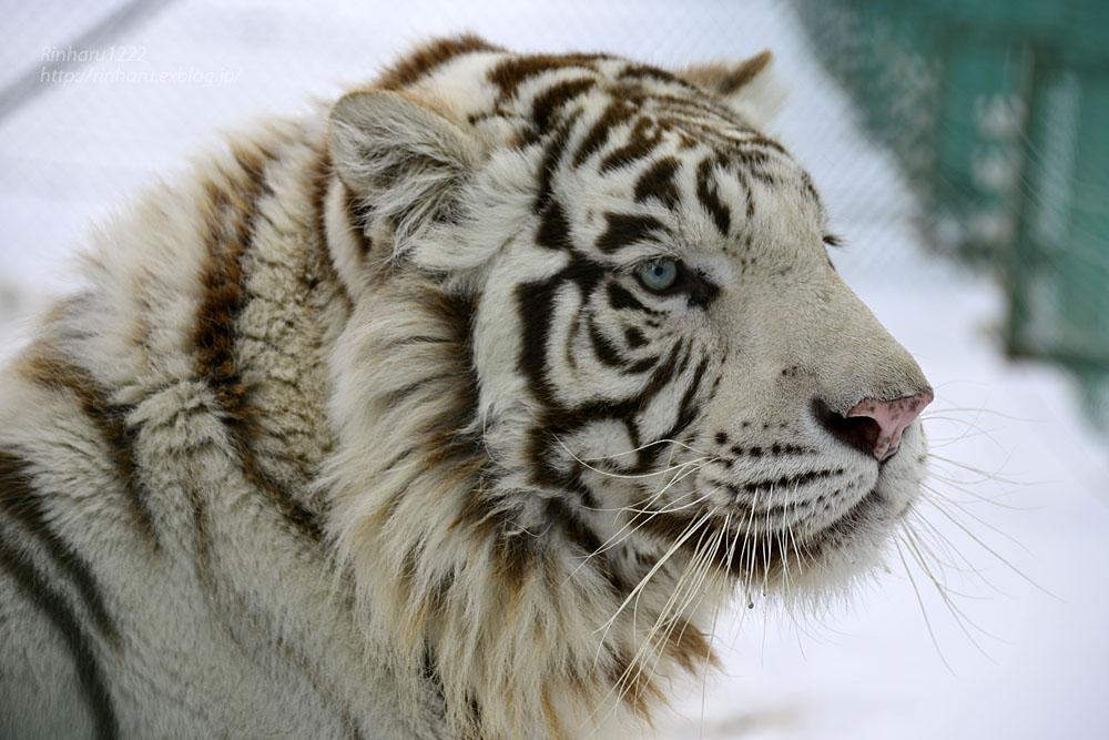 2018.1.28 岩手サファリパーク☆ホワイトタイガーのマハロくん【White tiger】_f0250322_215124.jpg