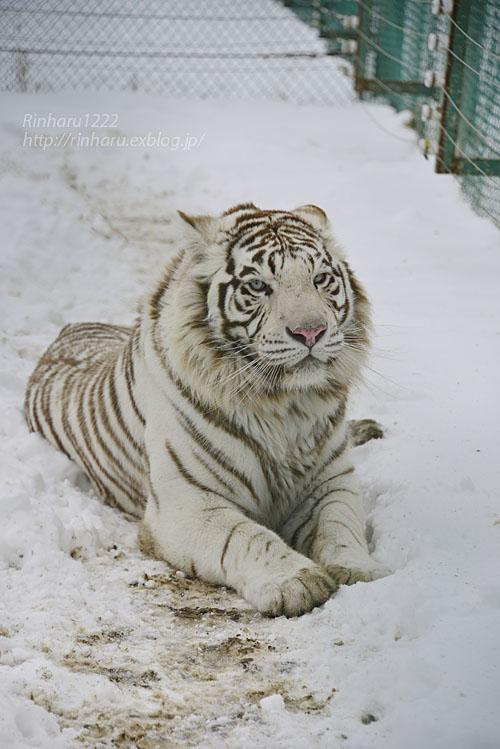 2018.1.28 岩手サファリパーク☆ホワイトタイガーのマハロくん【White tiger】_f0250322_2151578.jpg