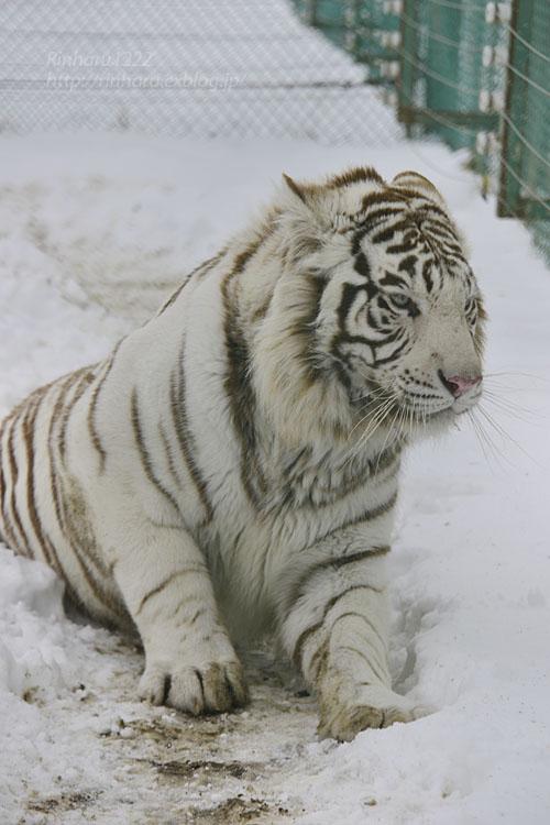 2018.1.28 岩手サファリパーク☆ホワイトタイガーのマハロくん【White tiger】_f0250322_2152027.jpg