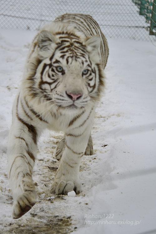 2018.1.28 岩手サファリパーク☆ホワイトタイガーのマハロくん【White tiger】_f0250322_2152456.jpg
