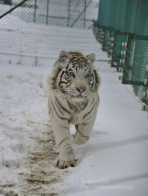 2018.1.28 岩手サファリパーク☆ホワイトタイガーのマハロくん【White tiger】_f0250322_2152942.jpg