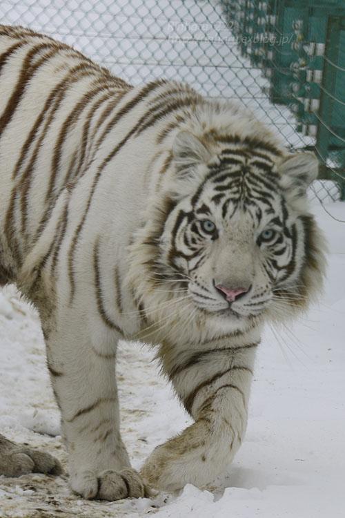 2018.1.28 岩手サファリパーク☆ホワイトタイガーのマハロくん【White tiger】_f0250322_2153892.jpg
