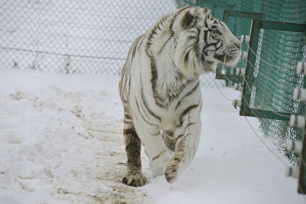 2018.1.28 岩手サファリパーク☆ホワイトタイガーのマハロくん【White tiger】_f0250322_2154356.jpg
