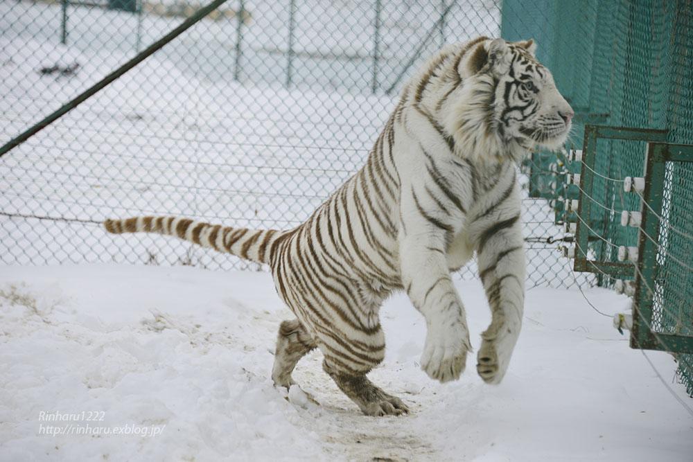 2018.1.28 岩手サファリパーク☆ホワイトタイガーのマハロくん【White tiger】_f0250322_2154823.jpg