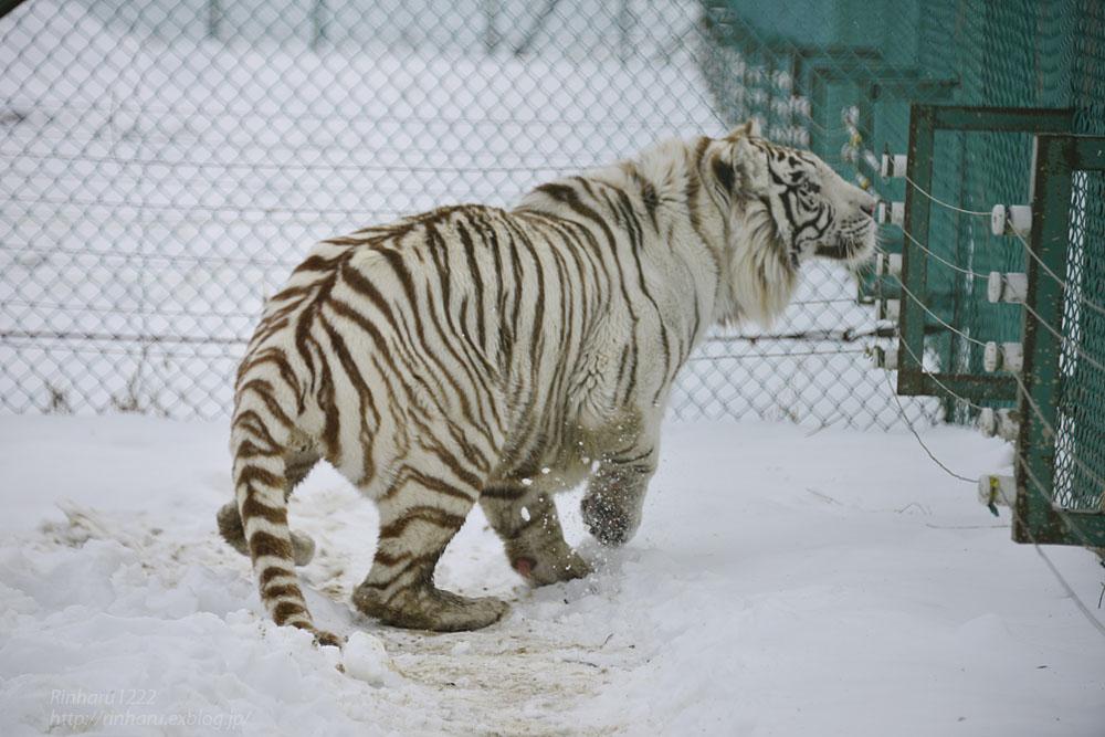 2018.1.28 岩手サファリパーク☆ホワイトタイガーのマハロくん【White tiger】_f0250322_215535.jpg