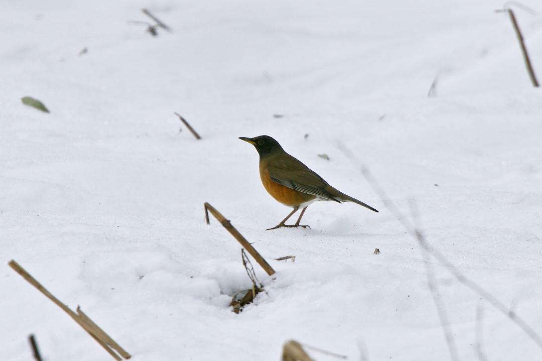 アカハラも雪の上_e0071967_1858316.jpg